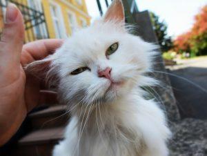 cat, white cat, animal